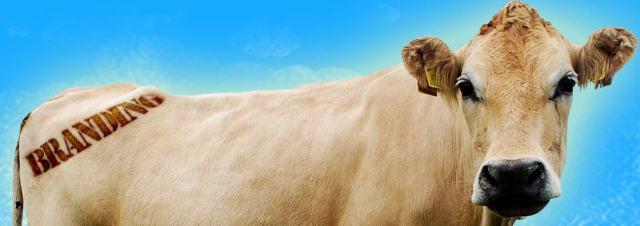 branding_cow