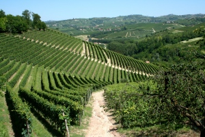 More_vineyards_of_Piemonte,_Italy