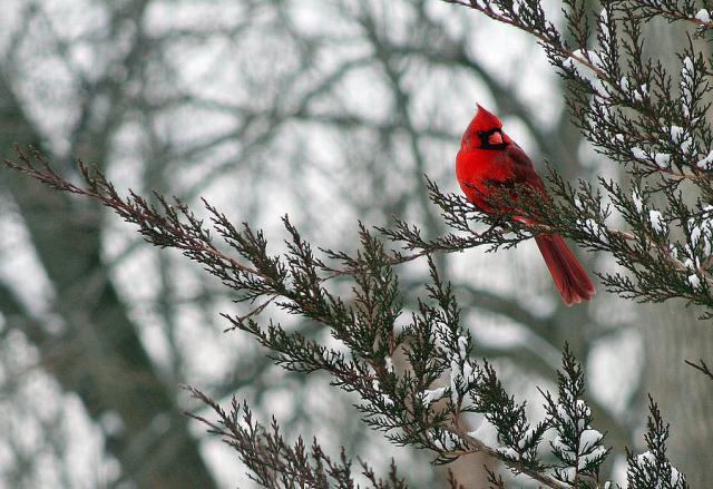 Being margaret a lighthearted look at life on any given day - Winter cardinal background ...